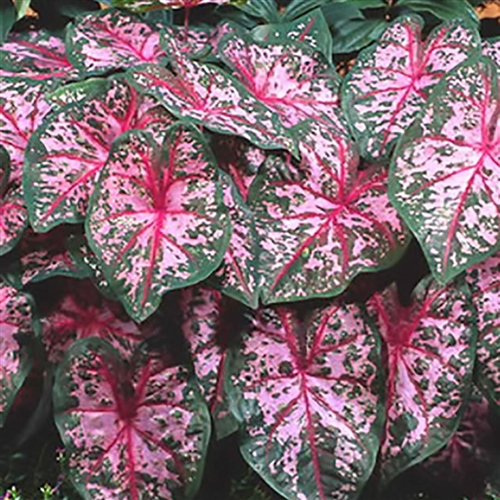 Bulbi Caladium Carolyn Whorton