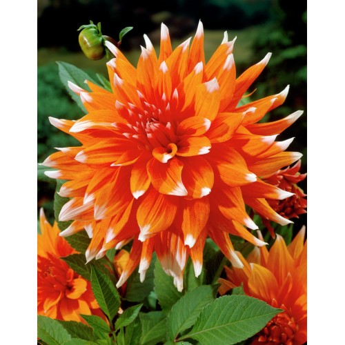 Bulbi Dahlia inalta Color Spectacle