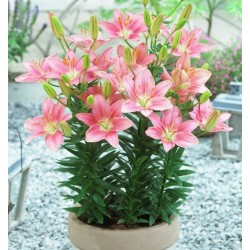 Bulbi Crini pitici-Lilium Foxtrot