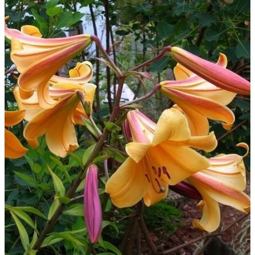 Bulbi Crini-Lilium regale African Queen
