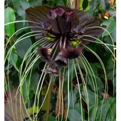 Bulbi Tacca chantieri Black Planta Liliac