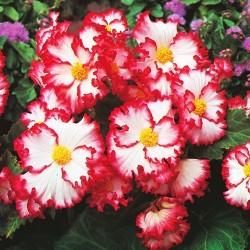 Bulbi Begonia tuberhybrida Crispa Marginata White-Red