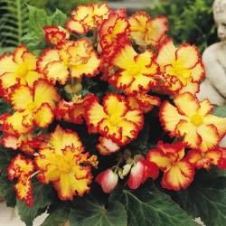 Bulbi Begonia tuberhybrida Crispa Marginata Yellow-Red