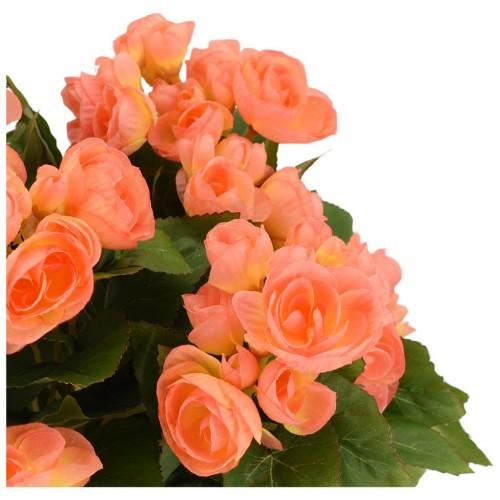 Bulbi Begonia tuberhybrida Smelling Orange