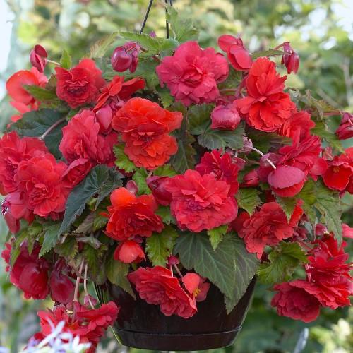 Bulbi Begonia tuberhybrida Smelling Red