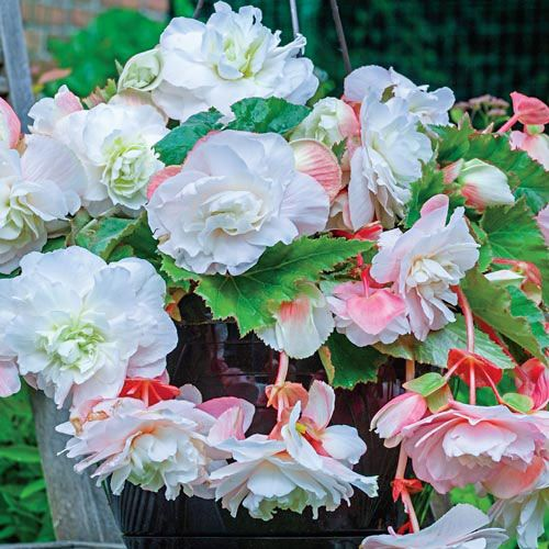 Bulbi Begonia tuberhybrida Smelling White