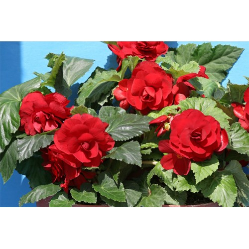 Bulbi Begonia tuberhybrida Double Red