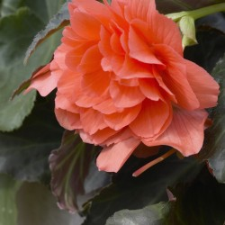 Bulbi Begonia tuberhybrida Double Salmon