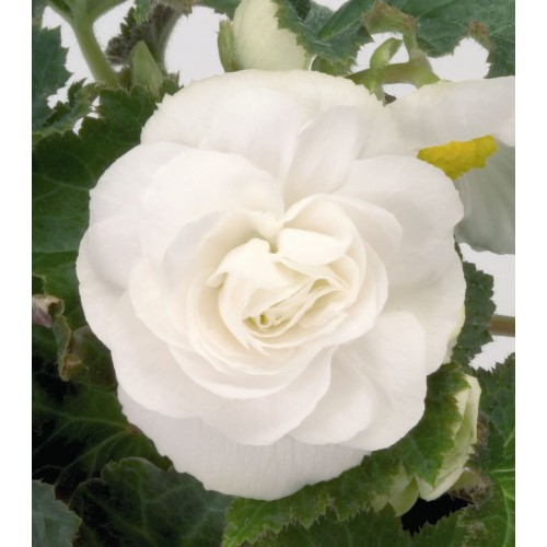 Bulbi Begonia tuberhybrida Double White