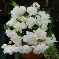 Bulbi Begonia tuberhybrida Pendula Cascade White