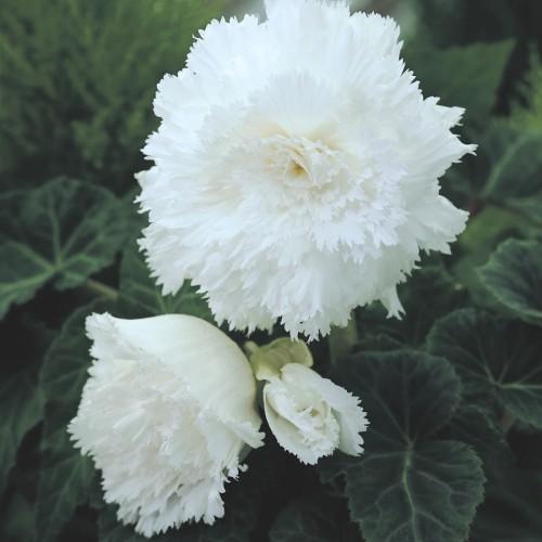 Bulbi Begonia tuberhybrida Fimbriata White