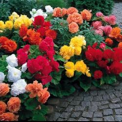 Bulbi Begonia -Pachet 100 bucati