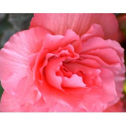 Bulbi Begonia tuberhybrida Double Pink