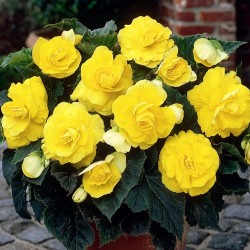 Bulbi Begonia tuberhybrida Double Yellow