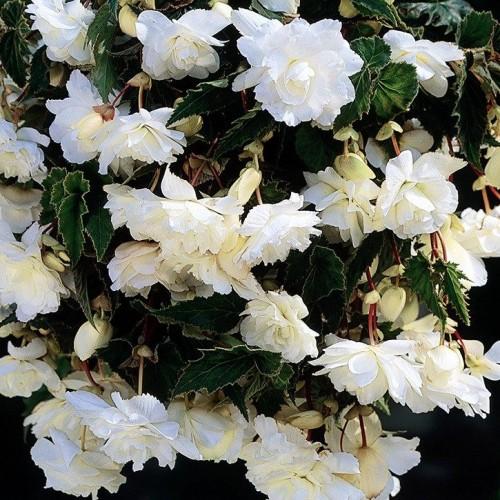Bulbi Begonia tuberhybrida Pendula Large Hanging White