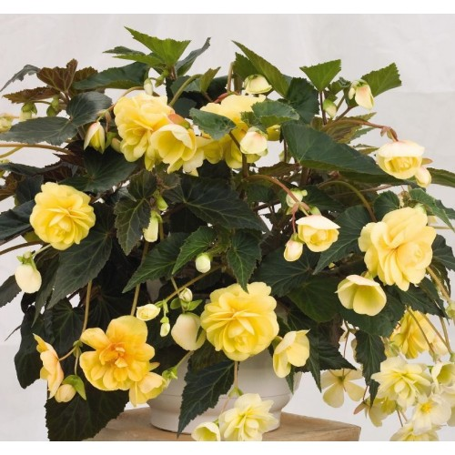 Bulbi Begonia tuberhybrida Pendula Large Hanging Yellow