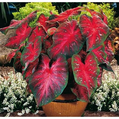 Bulbi Caladium Red Flash