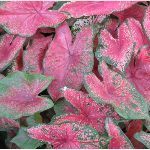 Bulbi Caladium Rose Glow