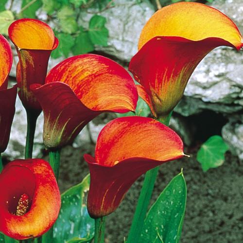 Bulbi Calla (Zantedeschia) Deep Flame