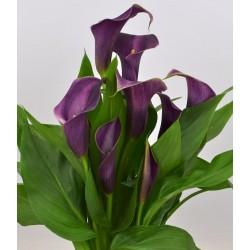 Bulbi Calla (Zantedeschia) Grape Velvet (Cut&Pot)