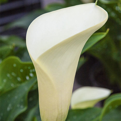 Bulbi Calla (Zantedeschia) Intimate Ivory