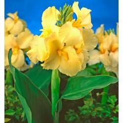 Bulbi Canna inalta fr. verzi Yellow Futurity