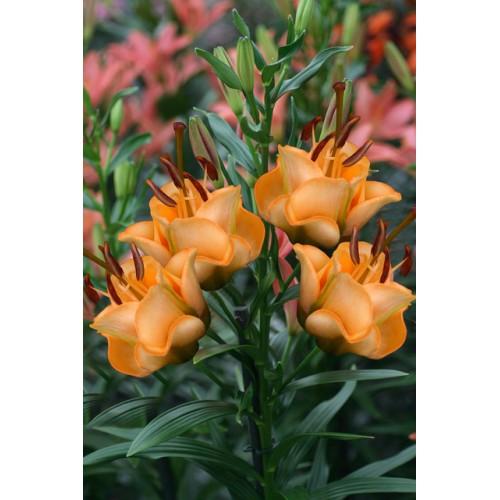 Bulbi Crini inalti - Lilium double Apricot Fudge