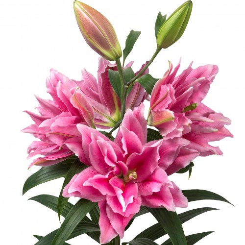 Bulbi Crini inalti-Lilium double Ciara