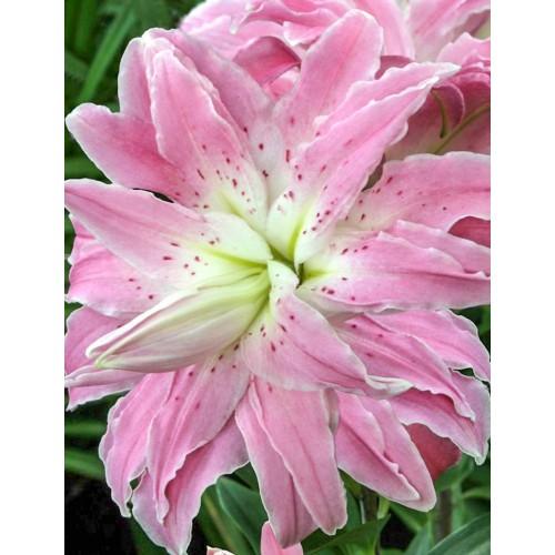 Bulbi Crini inalti - Lilium double Lotus Elegance