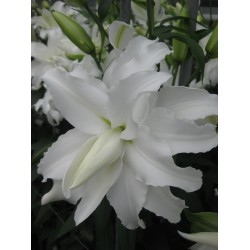 Bulbi Crini inalti - Lilium double My Wedding