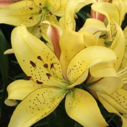 Bulbi Crini inalti -Lilium Fields of Gold