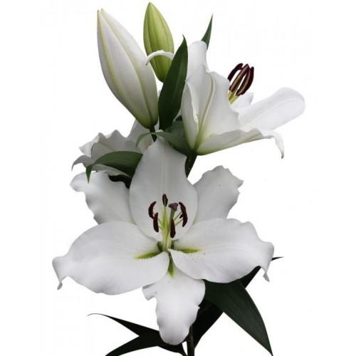 Bulbi Crini inalti -Lilium Genzano