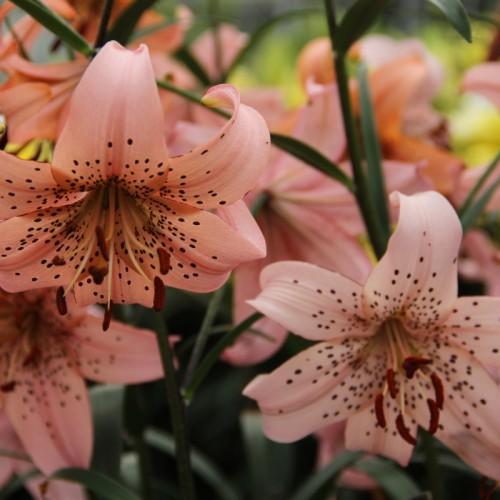 Bulbi Crini inalti -Lilium Pink Giant