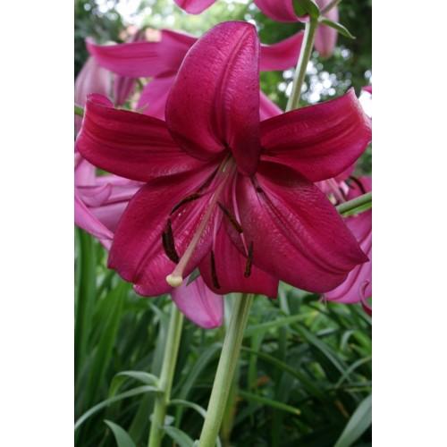Bulbi Crini inalti -Lilium Purple Marble