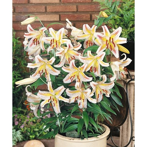 Bulbi Crini pitici-Lilium Garden Party