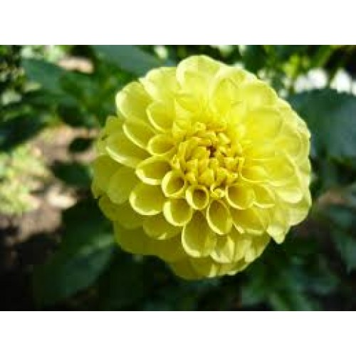 Bulbi Dahlia inalta (Dalia) Golden Torch