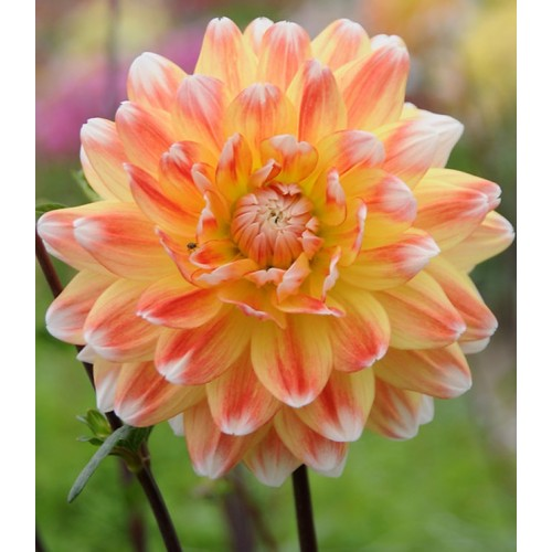 Bulbi Dahlia inalta (Dalia) Peach and Cream