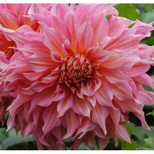 Bulbi Dahlia inalta (Dalia) Penhill Dark Monarch