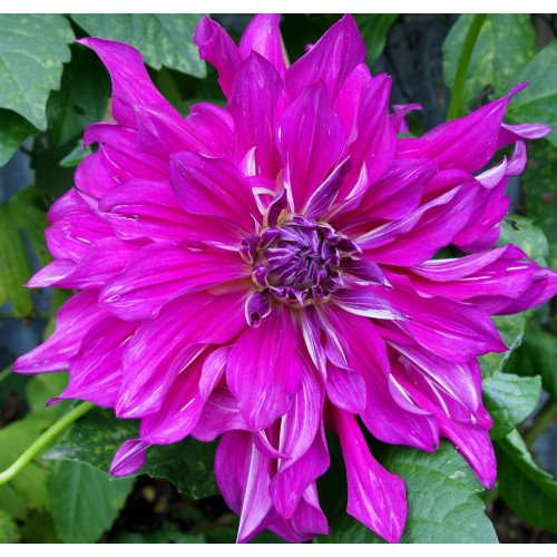 Bulbi Dahlia inalta (Dalia) Purple Taiheijo