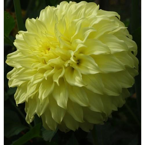 Bulbi Dahlia inalta (Dalia) Spartacus Yellow