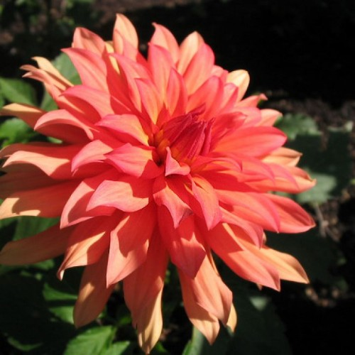 Bulbi Dahlia pitica (Dalia) Autumn Fairy
