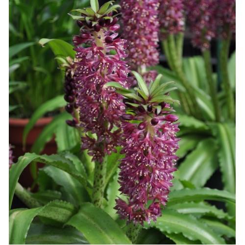 Plante Eucomis -aloha lily -Tiki - bulb la ghiveci