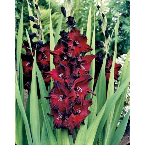Bulbi Gladiole -Big- Black Star