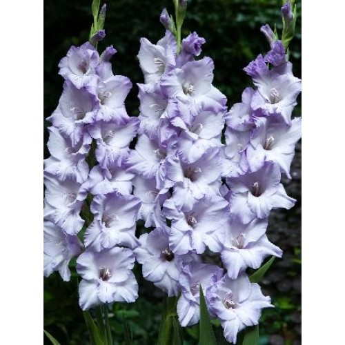 Bulbi Gladiole -Big Blue Tropic