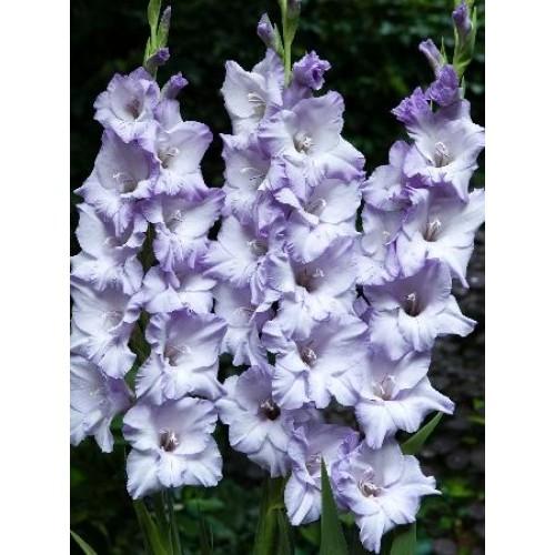 Bulbi Gladiole -Big Blue Tropic