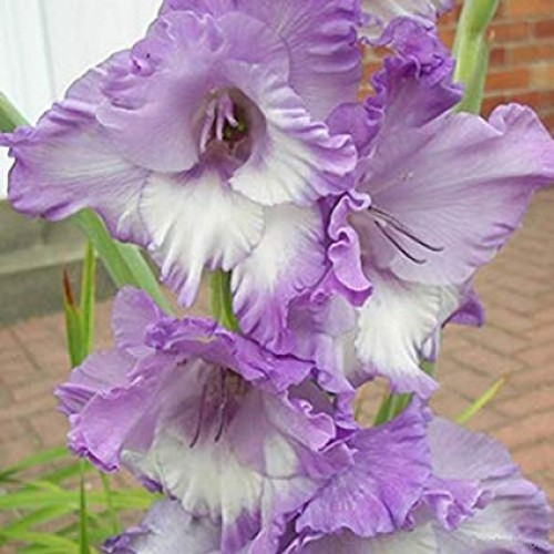 Bulbi Gladiole -Big Her Majesty