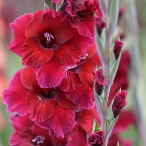 Bulbi Gladiole -Big Plumtart