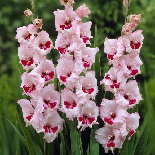 Bulbi Gladiole -Big Wine and Roses