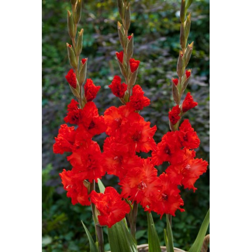 Bulbi Gladiole -Frizzled Fire Cracker