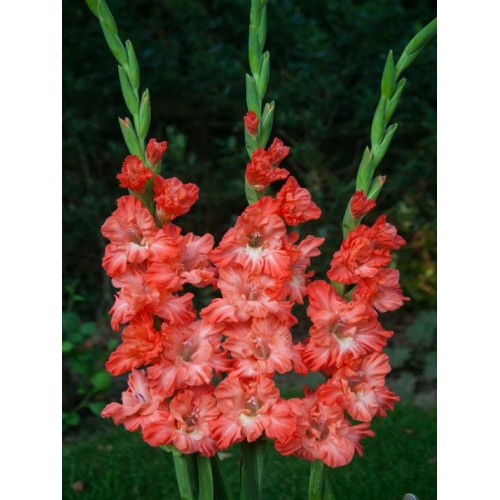 Bulbi Gladiole -Frizzled Ted s Frizzle